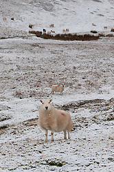 © Licensed to London News Pictures. 10/02/2019. Builth Wells, Powys, Wales, UK.  Sheep stand in a bleak wintry landscape on the Mynydd Epynt moorland in Powys, Wales, UK. credit: Graham M. Lawrence/LNP