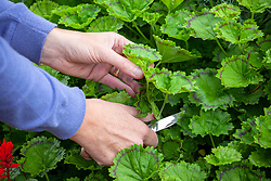 Taking cuttings from pelargoniums with a knife.
