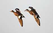 American Wigeon ducks at the Delta Marsh, early Thursday, April 12, 2012. A hen on the right. (TREVOR HAGAN)