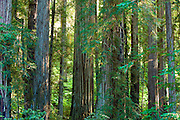 Giant Redwoods in the lush evergreen forest of Jedediah Smith Redwoods State Park.