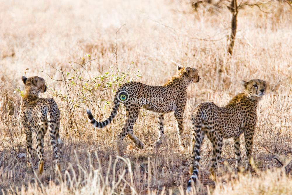 Cheetahz hunting. It is the fastest of all land animals. Samburu National Reserve, is located on the banks of the Ewaso Ng'iro river in Kenya; Africa. There is a wide variety of animal and bird life seen at Samburu National Reserve / Guepardoz cacando em Samburu, localizado no Rift Valley, no Quenia. Eh um dos grandes parques nacionais do Quenia, na Africa importante refugio de vida selvagem