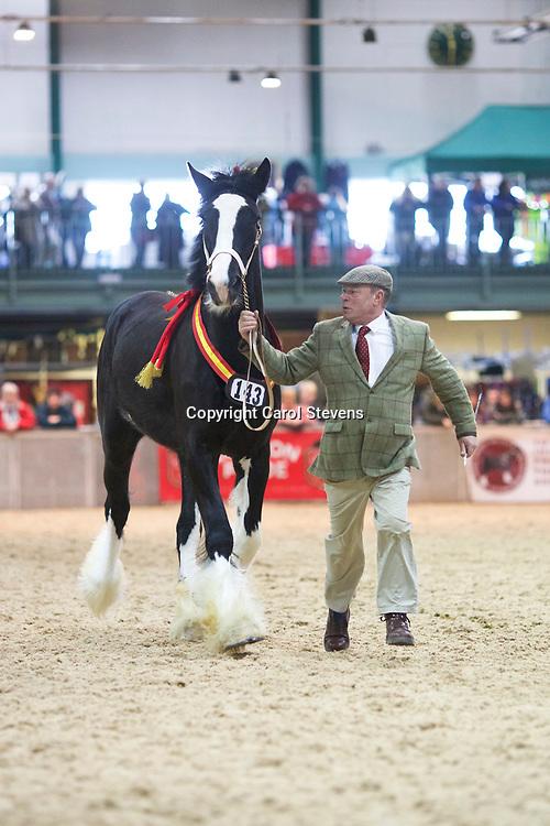 Mr Glen Cass's  ELIAN BLACK LADY  (No.143)<br /> Sire  Trem-Y-Wyddfa Courage<br /> Dam  Elian Grey Duchess<br /> Breeder  Mr J D P Williams