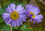 """A composite flower with purple petals and yellow center, blooms in Mount Robson Provincial Park, British Columbia, Canada. The aster, daisy, or sunflower family (Asteraceae or Compositae) is the largest family of vascular plants. Published in """"Light Travel: Photography on the Go"""" book by Tom Dempsey 2009, 2010."""