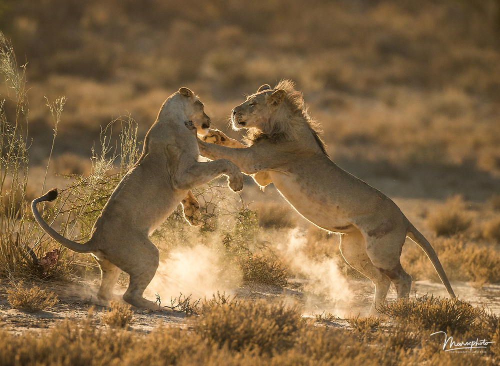 Two beautiful lions photographed in the Kgalagadi Transfrontier Park in South Africa/Botswana.  Taken in early morning light I photographed these lions against the sun with some bright risen dust.  The lions just made a Springbok kill an hour earlier and the remains of the kill visible in the vegetation.  The social interaction in this particular case was playful between these two lions.  I did post-processing Adobe Lightroom 6.  This included cropping, dust removal and straightening of the horizon.  Profile correction was done. Black and white values were restored to a natural scene.  Global exposure had to be increased slightly and shadows increased by 30%. Global clarity and sharpening were increased by 10%. A Selection of African land predators from countries including Kenya, Botswana, Namibia and South Africa.