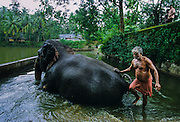 Khrisna's temple of Guruvayur near Trichur. The temple own more than 60 elephants.