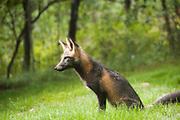 Fox alert!