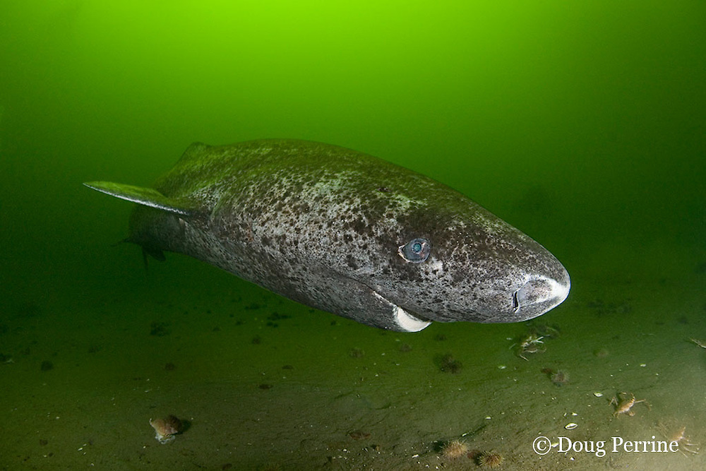 Greenland sleeper shark, Somniosus microcephalus, St. Lawrence River estuary, Canada (this shark was wild & unrestrained; it was not hooked and tail-roped as in most or all photos from the Arctic)