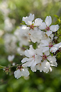 Israel, Galilee, white almond blossoms on Almond trees in a plantation