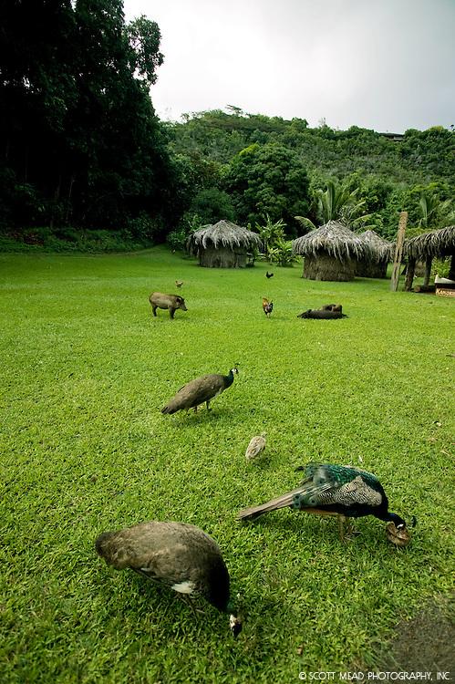 Peacocks, pigs and chickens feed near grass huts at Kamokila Hawaiian Village in Kauai, Hawaii