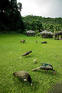 Peacocks, pigs and chickens feed near grass huts at Kamokila Hawaiian Village in Kauai, Hawaii