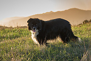 A happy black and white border collie stands in a field with mountains in the background just before sunset.