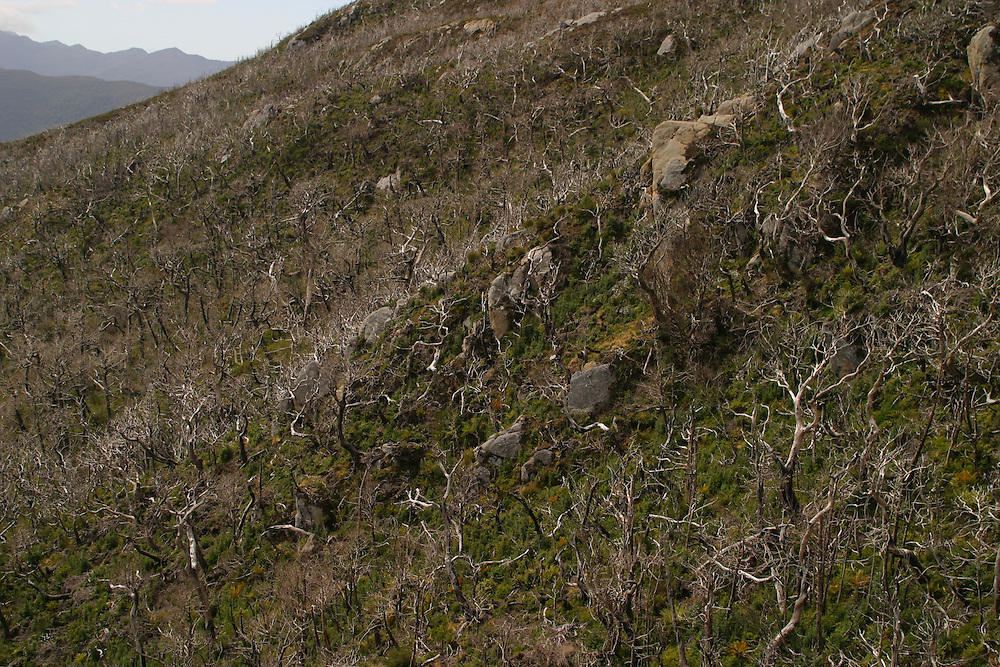 Burnt rainforest recovering on Isla Level, Chile, Feb. 10, 2004. Daniel Beltra/Greenpeace.