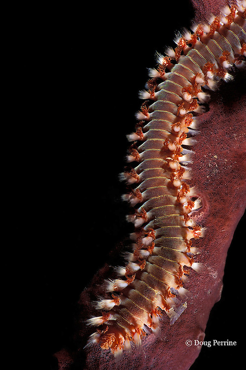 fireworm or bristleworm, Hermodice carunculata, Dominica ( Eastern Caribbean )