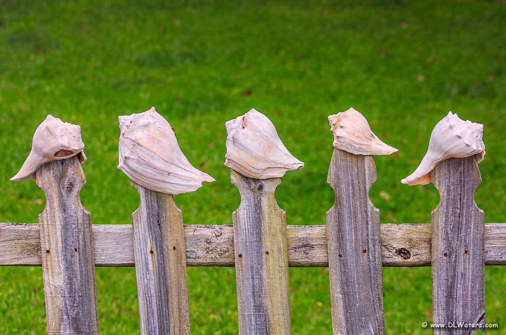 Pickett fence with a line of Whelk shells topping each picket.