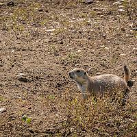 A Prairie dog in the Badlands of South Dakota.