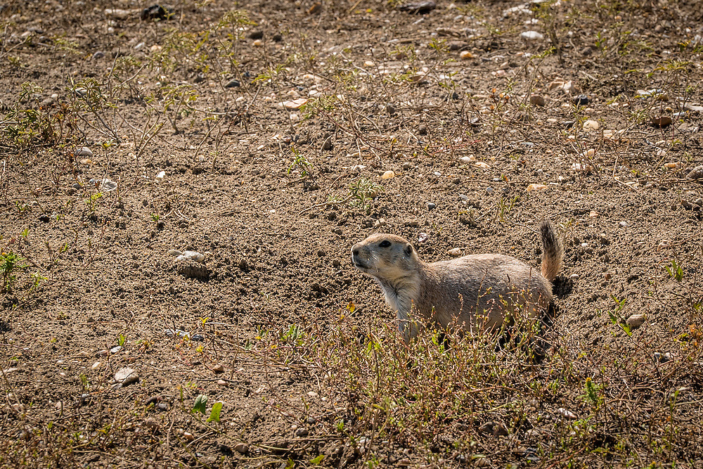 A Prairie dog in the Badlands of South Dakota.