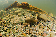 Sea Lamprey<br /> <br /> Sean Landsman/Engbretson Underwater Photography