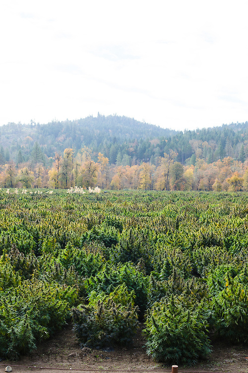 Cannabis farm in southern Oregon.