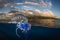Galère portugaise (Physalia physalis) devant un récif, Tahiti