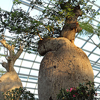Baobab tree in the Flower Dome, the cool-dry conservatory at Gardens By The Bay in Singapore.