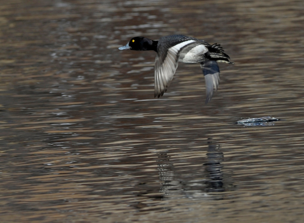 A scaup in flight along the Deschutes River in Bend Oregon