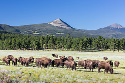 American bison herd in meadow beneath Ash Mountain, Vermejo Park Ranch, New Mexico, USA.