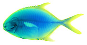 An X-Ray of a Yellow Jack (Caranx bartholomaei), a predatory species found in the Western Atlantic and Caribbean Sea.