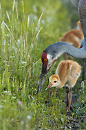 Sandhill crane chick watches intently as adult forages in the soil in a lush green meadow in a wetland, © 2014 David A. Ponton