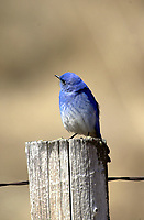Mountain Bluebird (Sialia currucoides), Big Springs Provincial Park, Alberta, Canada   Photo: Peter Llewellyn
