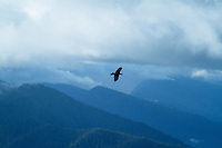 Ravens flying up on Hurricane Ridge, Olympic National Park, WA.