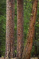 Ponderosa pines (Pinus ponderosa) and Incense Cedar (Calocedrus decurrens), Northern California