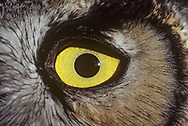 Close view of great-horned owl eye, showing iris closed down for daylight, yellow eye color, feather detail, and the black eye ring at the periphery, © 1983 David A. Ponton