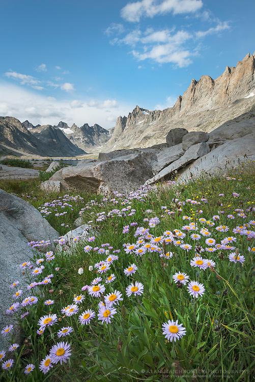 Titcomb Basin wildflowers composed of  purple Asters, Bridger Wilderness, Wind River Range Wyoming