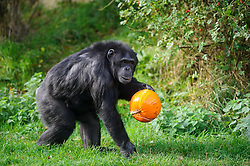 © Licensed to London News Pictures. 29/10/2013 Dunstable, UK. A chimpanzee grabs a Halloween pumpkin at Whipsnade Zoo, Dunstable. The animals are given the spooky treats as part of their dietary enrichment programme.<br /> Photo credit : Simon Jacobs/LNP