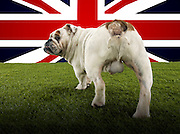 Full length rear view of British Bulldog walking towards Union Jack