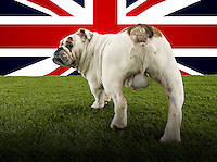 Full length rear view of British Bulldog walking towards Union Jack