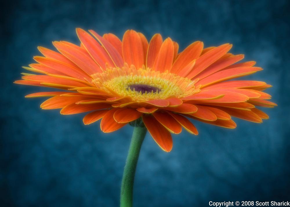 An orange Gerbera flower with a blue background.