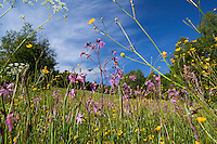 Flowering Meadow with, Buttercup, Ranunculus acris and Ragged Robin, Lychnis flos-cuculi, Poloniny National park, Western Carpathians, Slovakia, Europe