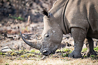 White Rhino cow , Pilanesberg National Park, North West, South Africa