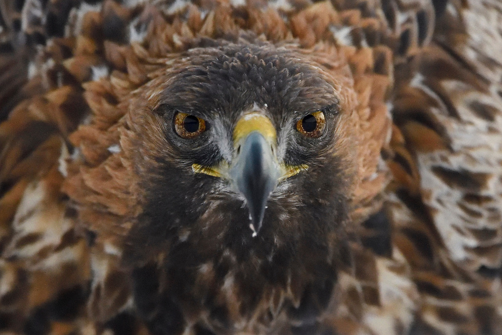 Portrait of a Golden Eagle bird, Aquila chrysaetos, adult male, Kalvtrask, Vasterbotten, Sweden