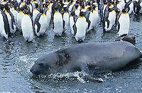 Seal lying beside Penguin colony