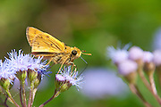 Fiery Skipper; Hylephila phyleus; on Blue Mist Flower; Conoclinium coelestinum; NJ, Cape May Co.