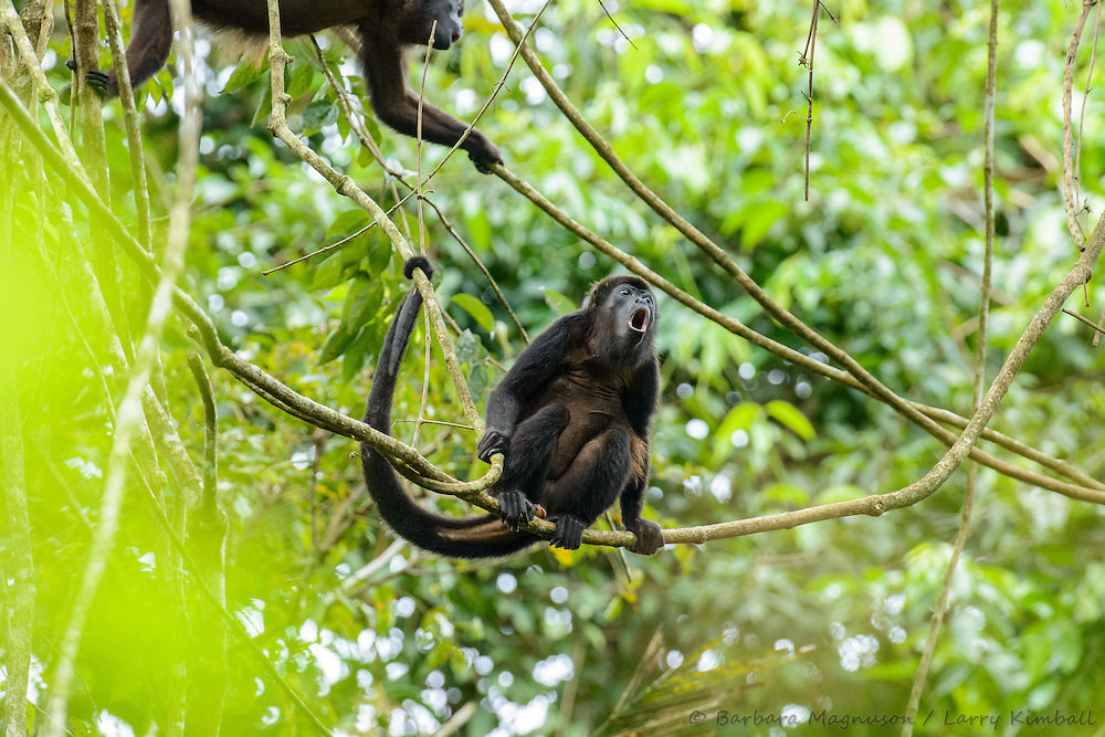 Mantled Howler Monkey [Allouata palliata] adult with botfly lessions (warble), browsing canopy, howling; Soberania National Park, Panama