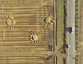 Huge Straw-made Crabs appear In Field