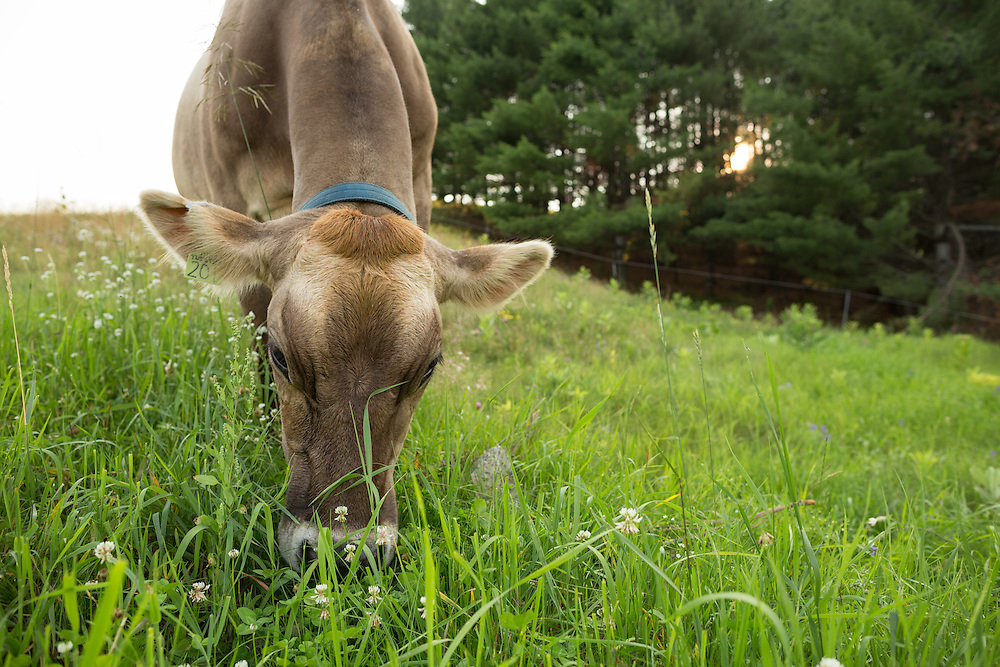 Brown Swiss cow grazing on a summer 's eve