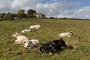 Young heifers lie in warm Northumbrian grass on an autumnal day  on 29th September 2017, in Blanchland, Northumberland, England.