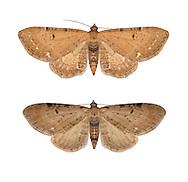70.179 (1830)<br /> Wormwood Pug - Eupithecia absinthiata<br /> bottom= ssp goossensiata = Ling Pug