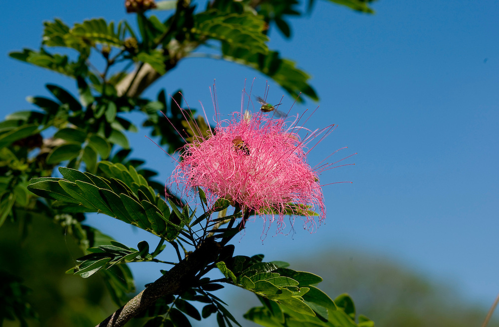 A bumble bee pollinates a flower on a pink mimosa tree around Lake Mirror in Lakeland, Florida April 11, 2008. Photo by Scott Audette