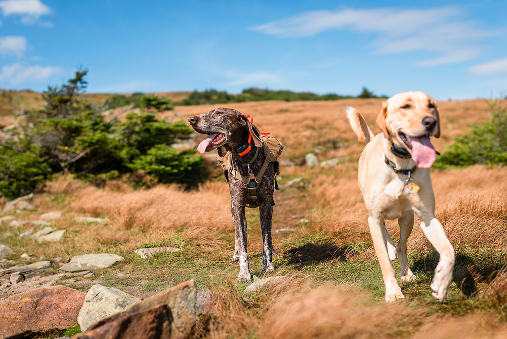 Hiking Moosilauke with a German Short Haired Pointer and a Yellow Lab