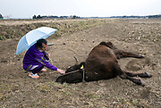 Former nuclear power plant worker Yuji Watanabe, 59, looks at a cow dying of thirst in a field in Minami-Soma, Fukushima Prefecture, Japan on 30 March, 2011.  Photographer: Robert Gilhooly